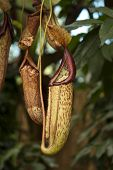 picture of carnivorous plants  - View of a nice carnivorous pitcher plant - JPG