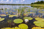 foto of day-lilies  - Summer landscape with water lilies on a sunny day - JPG