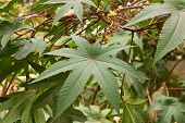 picture of laxatives  - Castor oil plant  - JPG