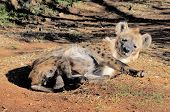 foto of hyenas  - Spotted hyena or laughing hyena lying on the ground