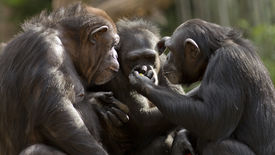 stock photo of chimp  - three chimpanzees in a group appearing to have a conversation - JPG
