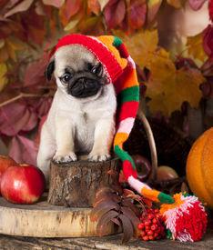 foto of gnome  - pug puppy in gnome hat - JPG