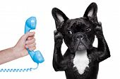 picture of working-dogs  - french bulldog dog listening or talking on the phone or telephone isolated on white background - JPG