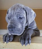 picture of stare  - Blue Great Dane puppy that is staring at something - JPG