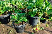 stock photo of strawberry plant  - closeup of strawberry plants potting in the garden - JPG