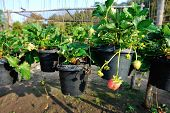 foto of strawberry plant  - closeup of strawberry plants potting in the garden - JPG