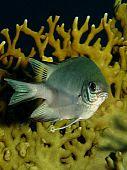 image of damselfish  - Closeup of a pale damselfish on tropical coral reef underwater - JPG