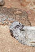 stock photo of meerkats  - Portrait of young meerkat on the stones  - JPG