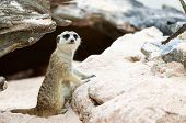 image of meerkats  - Meerkat stand and playing around there home area - JPG
