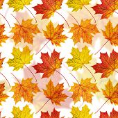 picture of canada maple leaf  - Autumn colorful maple - JPG