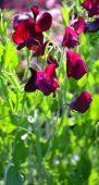 picture of sweet pea  - red Flowering Sweet Pea plants  - JPG