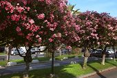 stock photo of oleander  - Beautiful oleanders growing on the Boulevard de la Croisette - JPG