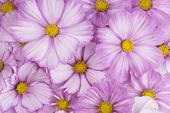 picture of cosmos flowers  - Studio Shot of Fuchsia and White Colored Cosmos Flowers Background - JPG
