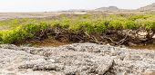 image of curacao  - Manchineel tree or poison apple tree on Curacao - JPG