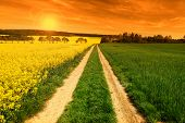 picture of turnip greens  - Sunset in yellow rapeseed field - JPG