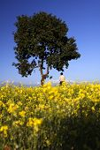 stock photo of mustard seeds  - A man standing alone in a yellow field looking at the Annapurna Range - JPG