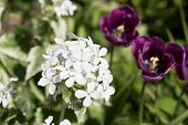 foto of purple white  - White flower with purple tulips blurred in the background