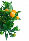 stock photo of tangerine-tree  - Tangerine tree branch with fruits and leaves  isolated on white background - JPG