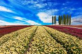 foto of buttercup  - Huge fields of garden buttercups  - JPG