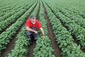 stock photo of soybeans  - Farmer or agronomist examine soybean plant in field - JPG