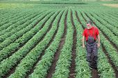 pic of soybeans  - Farmer or agronomist walking in soybean field and examine plant - JPG