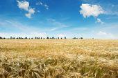 stock photo of fall-wheat  - ripe wheat on a field - JPG