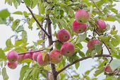 picture of apple orchard  - ripe apples hanging on a branch at orchard  - JPG