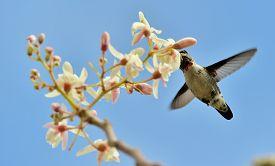 stock photo of hummingbirds  - Flying Cuban Bee Hummingbird  - JPG