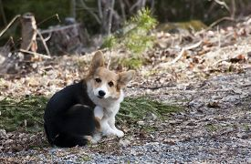 image of corgi  - a welsh corgi puppy scratching himself on the neck - JPG