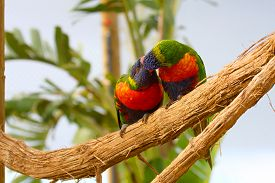 picture of lorikeets  - two Rainbow Lorikeet the preen each other - JPG