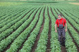 image of soybeans  - Farmer or agronomist walking in soybean field and examine plant - JPG