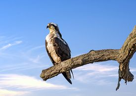 picture of maryland  - Osprey perched on a tree near sunset over the Chesapeake Bay in Maryland - JPG