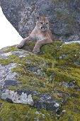 image of mountain lion  - Mountain Lion on moss covered rocks during spring time - JPG