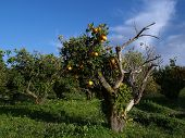 image of old spanish trail  - Old Spanish garden whit orange tree whit fruits - JPG
