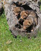 stock photo of hollow log  - Coyote pups playing in hollowed area of fallen tree - JPG