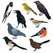 Set Of Different Species Of Birds. Wildlife Or Fauna Theme. Graphic Elements For Ornithology Book, P poster