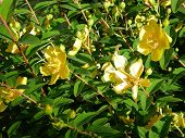 picture of klamath  - A plant used as medicine whose name comes from its traditional flowering and harvesting on St John