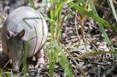 Armadillo Foraging poster