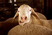 Funny Animal Portrait Of Sheep With Opened Mouth, Funny Face, Funny Animal. poster