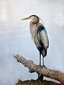 Closeup Of A Great Blue Heron Standing Majestically On A Log In The Water Gazing Out Over The Chesap poster