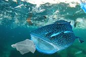 Plastic ocean pollution. Whale Shark filter feeds in polluted ocean, ingesting plastic    poster