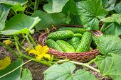 Fresh Cucumbers In A Basket In The Garden In The Garden Among The Sprouts Of Cucumber And Ovary Flow poster