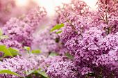 Beautiful Purple Lilac Flowers. Macro Photo Of Lilac Spring Flowers. Floral Background. poster