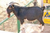stock photo of pygmy goat  - A closeup of black and white goat - JPG