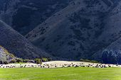 Large herd of cows grazes at the foot of the mountain. Fabulous country of New Zealand. Mountains s poster