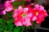 Bright Pink Petunia Flower Close-up. Pink Flower Close-up. Colored Pink Petunia. poster
