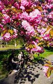 Pink Japanese Cherry-tree Blossom. Sakura poster