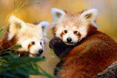 The Red Panda (ailurus Fulgens), Firefox Or Lesser Panda, The Red Bear-cat, And The Red Cat-bear, Po poster