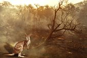 Composition About Australian Wildlife In Bushfires Of Australia In 2020. Kangaroo With Fire On Backg poster