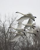 stock photo of trumpeter swan  - Flock of Trumpeter swans taking flight from a river - JPG